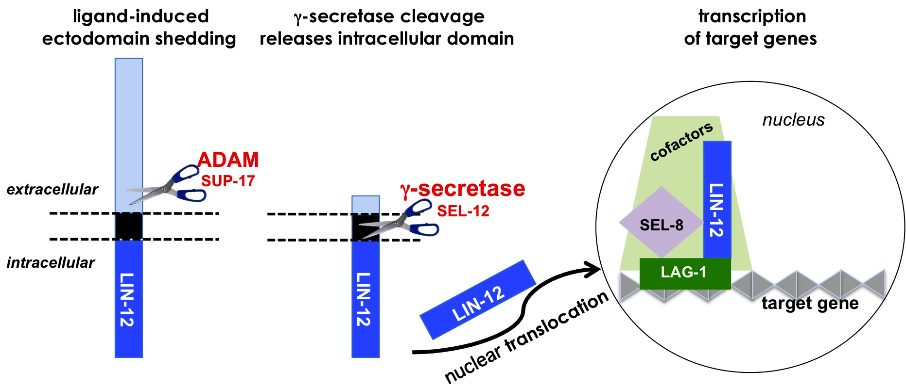 Lin-12/Notch signaling